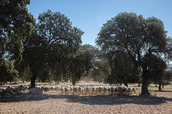 finca-ovejas-Dehesa-zacatena