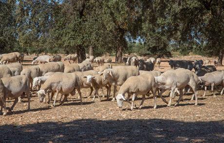 finca-ovejas-queso-zacatena